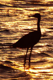 BIRD - EGRET - REDDISH EGRET - SAN IGNACIO LAGOON BAJA MEXICO (3).JPG