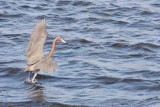 BIRD - EGRET - REDDISH EGRET - SAN IGNACIO LAGOON BAJA MEXICO (36).JPG