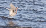 BIRD - EGRET - REDDISH EGRET - SAN IGNACIO LAGOON BAJA MEXICO (37).JPG