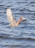 BIRD - EGRET - REDDISH EGRET - SAN IGNACIO LAGOON BAJA MEXICO (39).JPG