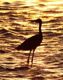BIRD - EGRET - REDDISH EGRET - SAN IGNACIO LAGOON BAJA MEXICO (4).JPG