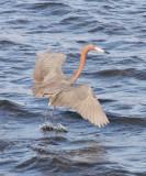 BIRD - EGRET - REDDISH EGRET - SAN IGNACIO LAGOON BAJA MEXICO (44).JPG