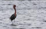BIRD - EGRET - REDDISH EGRET - SAN IGNACIO LAGOON BAJA MEXICO (46).JPG
