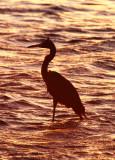 BIRD - EGRET - REDDISH EGRET - SAN IGNACIO LAGOON BAJA MEXICO (7).JPG