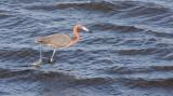 BIRD - EGRET - REDDISH EGRET - SAN IGNACIO LAGOON BAJA MEXICO (9).JPG
