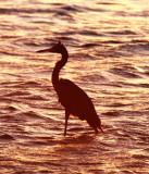 BIRD - EGRET - REDDISH EGRET - SAN IGNACIO LAGOON BAJA MEXICO.jpg