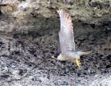 BIRD - FALCON - PERIGRINE FALCON - SAN IGNACIO LAGOON BAJA MEXICO (20).JPG