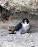 BIRD - FALCON - PERIGRINE FALCON - SAN IGNACIO LAGOON BAJA MEXICO (34).JPG
