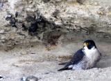 BIRD - FALCON - PERIGRINE FALCON - SAN IGNACIO LAGOON BAJA MEXICO (35).JPG