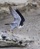 BIRD - FALCON - PERIGRINE FALCON - SAN IGNACIO LAGOON BAJA MEXICO (4).JPG
