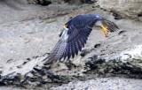 BIRD - FALCON - PERIGRINE FALCON - SAN IGNACIO LAGOON BAJA MEXICO (40).JPG