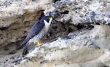 BIRD - FALCON - PERIGRINE FALCON - SAN IGNACIO LAGOON BAJA MEXICO (41).JPG