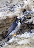 BIRD - FALCON - PERIGRINE FALCON - SAN IGNACIO LAGOON BAJA MEXICO (43).JPG