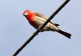 BIRD - FINCH - HOUSE FINCH - CARPODACUS MEXICANUS - LORETO BAJA MEXICO (4).JPG
