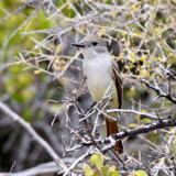 BIRD - FLYCATCHER - ASH-THROATED FLYCATCHER - ISLA SANTA CATALINA BAJA MEXICO (7).JPG