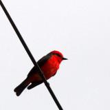 BIRD - FLYCATCHER - VERMILLION FLYCATCHER - SAN IGNACIO BAJA MEXICO  (6).JPG