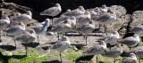 BIRD - GODWIT - MARBLED GODWIT - WILLETS - SAN IGNACIO LAGOON BAJA MEXICO (5).JPG