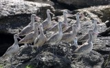 BIRD - GODWIT - MARBLED GODWIT WITH WILLETS NEAR CAMPO CORTEZ - SAN IGNACIO LAGOON BAJA MEXICO (11).JPG