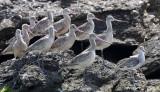BIRD - GODWIT - MARBLED GODWIT WITH WILLETS NEAR CAMPO CORTEZ - SAN IGNACIO LAGOON BAJA MEXICO (17).JPG
