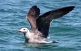 BIRD - GULL - HEERMAN'S GULL - SAN IGNACIO LAGOON BAJA MEXICO (7).JPG