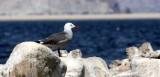 BIRD - GULL - HEERMANS GULL - BAHIA DE LOS ANGELES DESERT BAJA MEXICO (2).JPG