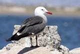 BIRD - GULL - HEERMANS GULL - BAHIA DE LOS ANGELES DESERT BAJA MEXICO (5).JPG