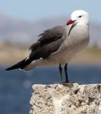 BIRD - GULL - HEERMANS GULL - BAHIA DE LOS ANGELES DESERT BAJA MEXICO (8).JPG