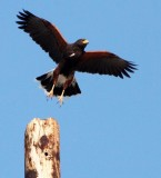 BIRD - HAWK - HARRIS'S HAWK - PARABUTEO UNICINCTUS - OJO DE LIEBRE LAGOON BAJA MEXICO (5).JPG