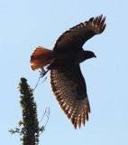 BIRD - HAWK - RED-TAILED HAWK - WESTERN DARK ADULT - CATAVINA DESERT BAJA MEXICO (2).JPG