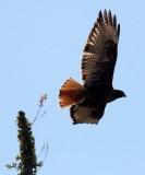 BIRD - HAWK - RED-TAILED HAWK - WESTERN DARK ADULT - CATAVINA DESERT BAJA MEXICO (3).JPG