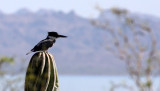 BIRD - KINGFISHER - BELTED KINGFISHER - BAHIA CONCEPCION BAJA MEXICO (7).JPG