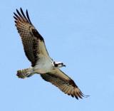 BIRD - OSPREY - SAN IGNACIO LAGOON BAJA MEXICO (16).JPG
