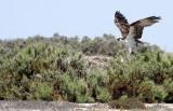 BIRD - OSPREY - SAN IGNACIO LAGOON BAJA MEXICO (24).JPG