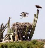 BIRD - OSPREY - SAN IGNACIO LAGOON BAJA MEXICO (67).JPG