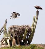 BIRD - OSPREY - SAN IGNACIO LAGOON BAJA MEXICO (68).JPG