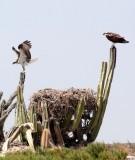 BIRD - OSPREY - SAN IGNACIO LAGOON BAJA MEXICO (70).JPG