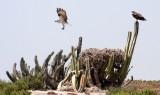 BIRD - OSPREY - SAN IGNACIO LAGOON BAJA MEXICO (81).JPG