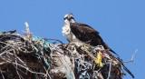 BIRD - OSPREY - VIZCAINO BIOSPHERE RESERVE - VIZCAINO TOWN BAJA MEXICO (6).JPG