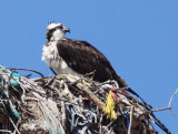 BIRD - OSPREY - VIZCAINO BIOSPHERE RESERVE - VIZCAINO TOWN BAJA MEXICO (8).JPG