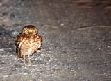 BIRD - OWL - BURROWING OWL - SAN IGNACIO LAGOON BAJA MEXICO (2).JPG