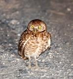 BIRD - OWL - BURROWING OWL - SAN IGNACIO LAGOON BAJA MEXICO (3).JPG