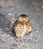 BIRD - OWL - BURROWING OWL - SAN IGNACIO LAGOON BAJA MEXICO (4).JPG