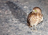 BIRD - OWL - BURROWING OWL - SAN IGNACIO LAGOON BAJA MEXICO.JPG