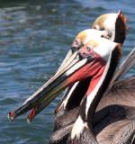 BIRD - PELICAN - BROWN PELICAN - BAHIA DE LORETO HARBOR MEXICO (4).jpg