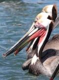 BIRD - PELICAN - BROWN PELICAN - BAHIA DE LORETO HARBOR MEXICO (6).jpg