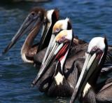 BIRD - PELICAN - BROWN PELICAN - BAHIA DE LORETO HARBOR MEXICO (7).JPG
