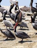 BIRD - PELICAN - BROWN PELICAN - SAN IGNACIO LAGOON BAJA MEXICO (12).JPG