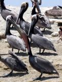 BIRD - PELICAN - BROWN PELICAN - SAN IGNACIO LAGOON BAJA MEXICO (15).JPG