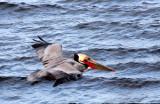 BIRD - PELICAN - BROWN PELICAN - SAN IGNACIO LAGOON BAJA MEXICO (31).JPG