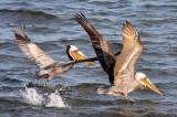 BIRD - PELICAN - BROWN PELICAN - SAN IGNACIO LAGOON BAJA MEXICO (46).JPG